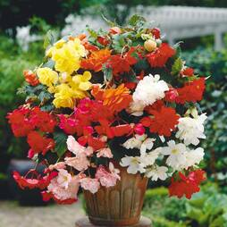 Begonia (Pendula)