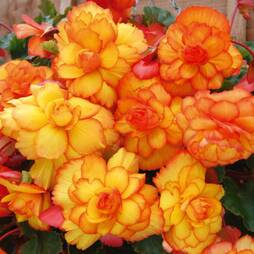 Begonia 'Fireball' (Cascading)