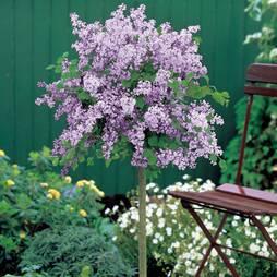 Lilac (Dwarf Standard)