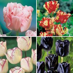 Tulip 'Lover's Collection'