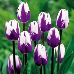 Tulip 'Blueberry Ripple'