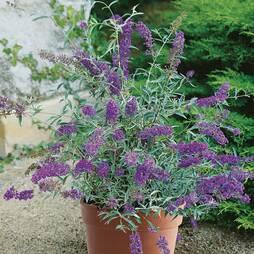 Buddleja Buzz® 'Lavender'