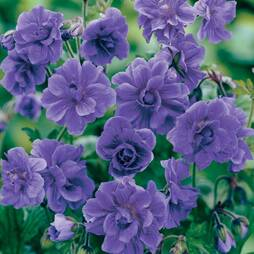 Geranium himalayense 'Plenum' (Hardy)