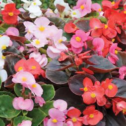 Begonia 'Inspiration'