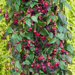 Fuchsia 'Lady in Black' (Climbing)