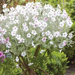 Geranium maderense 'White'