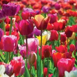 Tulip 'Majestic Mix'