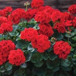 Geranium 'Ultimate Red'