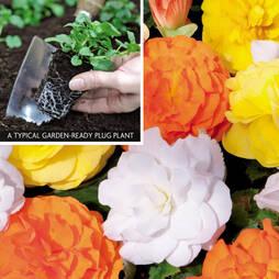 Begonia 'Non-Stop Citrus Mix' (Garden Ready)