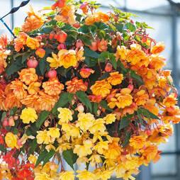 Begonia 'Apricot Shades' Pre-planted Hanging Basket