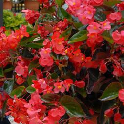 Begonia 'Whopper Mix' Pre-planted Pot