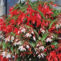 Begonia 'Starshine'