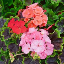Geranium 'Black Velvet Mixed' Pre-planted Pot