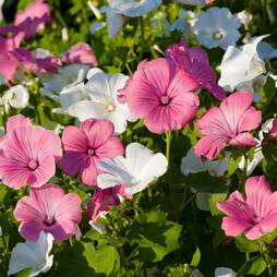 Lavatera trimestris Mixed (Seeds)