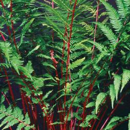 Athyrium niponicum var. pictum 'Lady In Red'