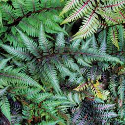Athyrium niponicum var. pictum 'Ursula's Red'