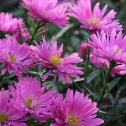 Aster novi belgii 'Rosa Perle'