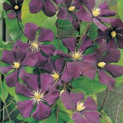 Clematis ''toile Violette'