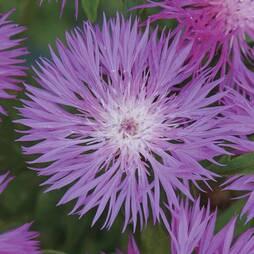 Centaurea dealbata