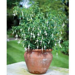 Fuchsia 'Hawkshead' (Hardy)