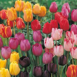 Tulip 'Darwin Mixed'