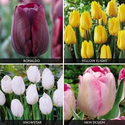 Tulip 'Triumph Collection'