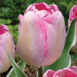 Tulip 'New Design'