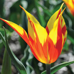 Tulip 'Fire Wings'
