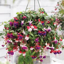 Fuchsia 'Trailing Mix' Pre-planted Hanging Basket