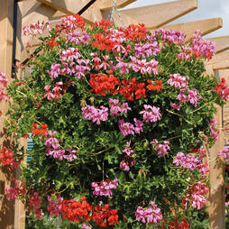 Geranium 'Trailing Supreme' Pre-planted Hanging Basket