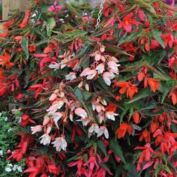 Begonia 'Starshine' (Garden Ready)