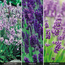 English Lavender Collection