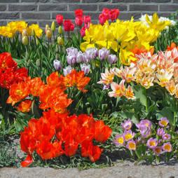 Tulip 'Full Border Mix'