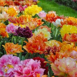 Tulip 'Murillo Mixed'