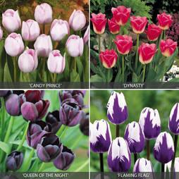 Tulip 'Rockstar Collection'