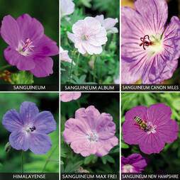 Hardy Geranium Collection