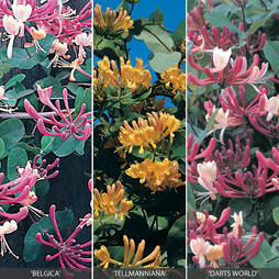 Honeysuckle Collection
