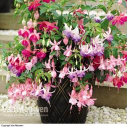 Fuchsia '3-in-1 Pot' (Hardy)