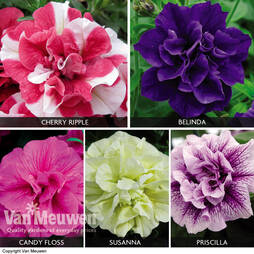 Petunia 'Tumbelina Collection'