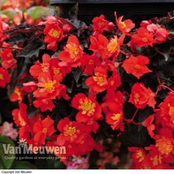Begonia 'Flamenco'