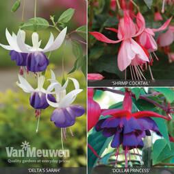 Fuchsia 'Hardy Collection'