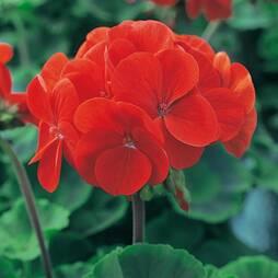 Geranium 'Ultimate Red' (Garden ready)