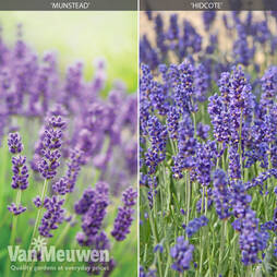 Lavender 'Duo Collection'