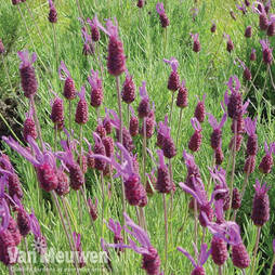 Lavender 'Purple Ribbon' (Bandera)