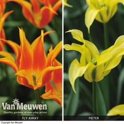 Tulip 'Fly Away' and 'Pieter' Duo Collection