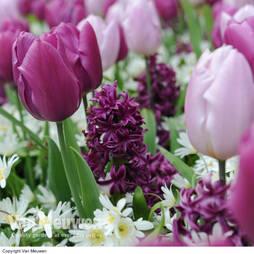 Tulip, Hyacinth & Anemone Mix