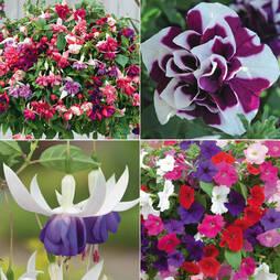 Petunia and Fuchsia Lucky Dip Collection