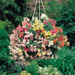 Antirrhinum 'Trailing Mix'