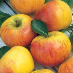 Apple 'Cox's Orange Pippin'
