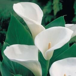 Arum Lily (White)